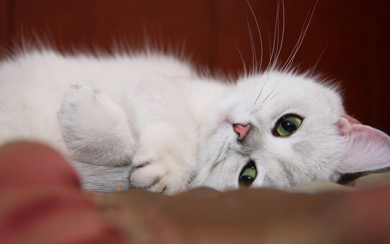 Белые коты - Обои для рабочего стола с ...: cotiki.ucoz.ru/photo/oboi_dlja_rabochego_stola_s_koshkami/bylye...