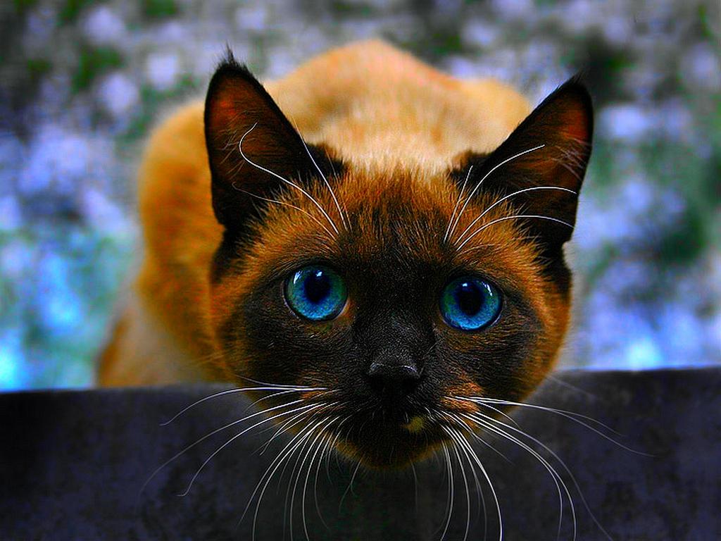siamese cats wallpaper 3 - photo #18