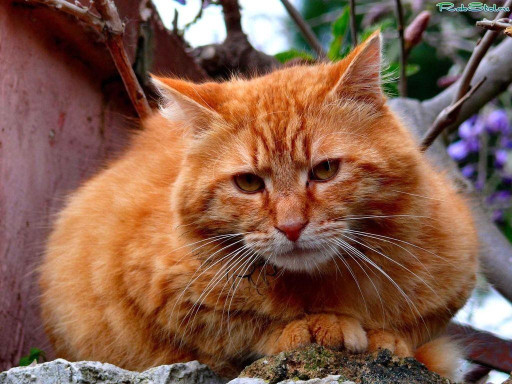 рыжий кот у стола  Кот и Кошка