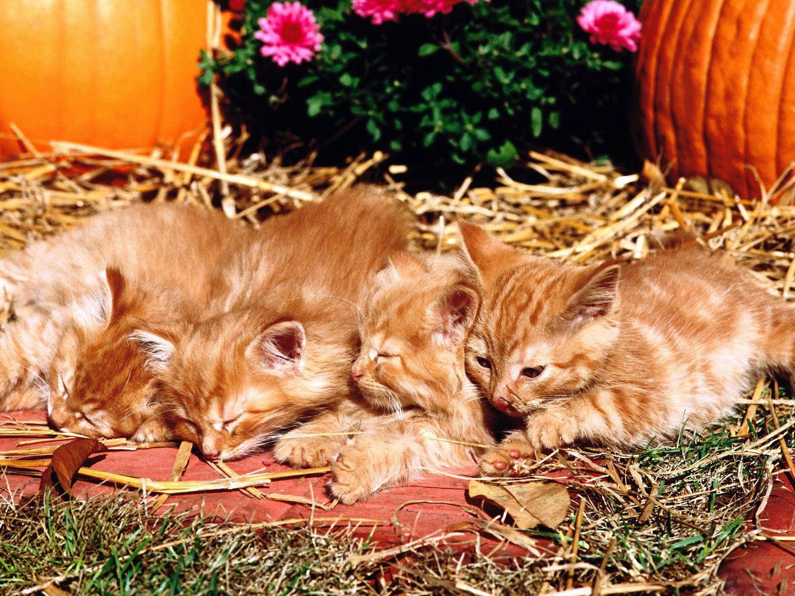 Обои рыжие коты народная воля - 620