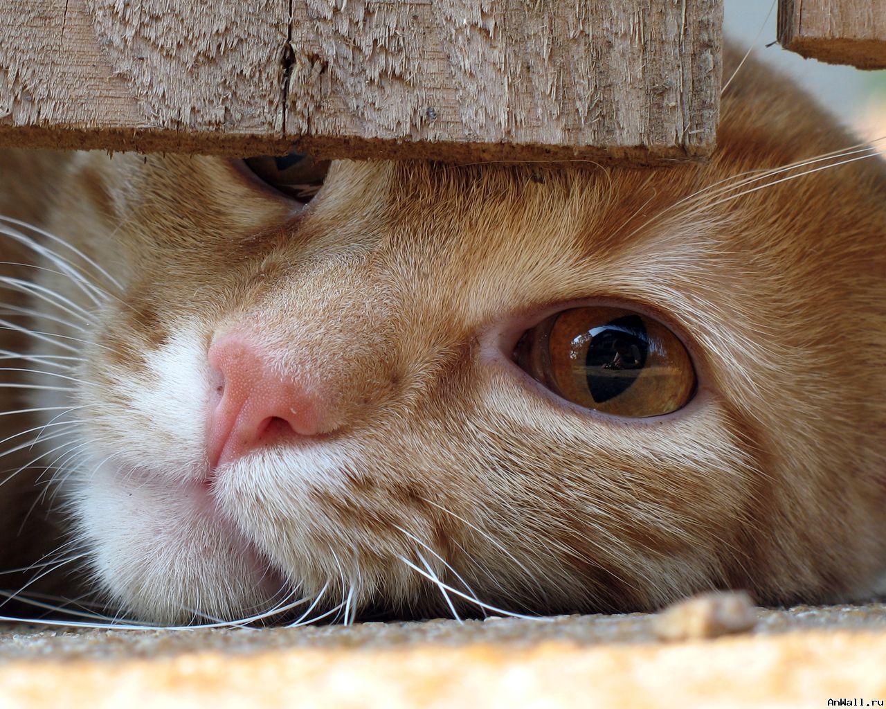 Обои рыжие коты народная воля - 7405