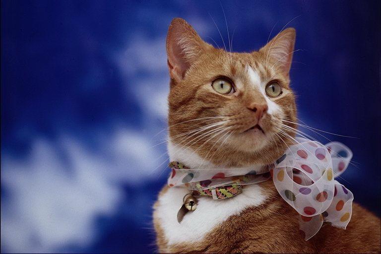 Обои рыжие коты народная воля - 753c