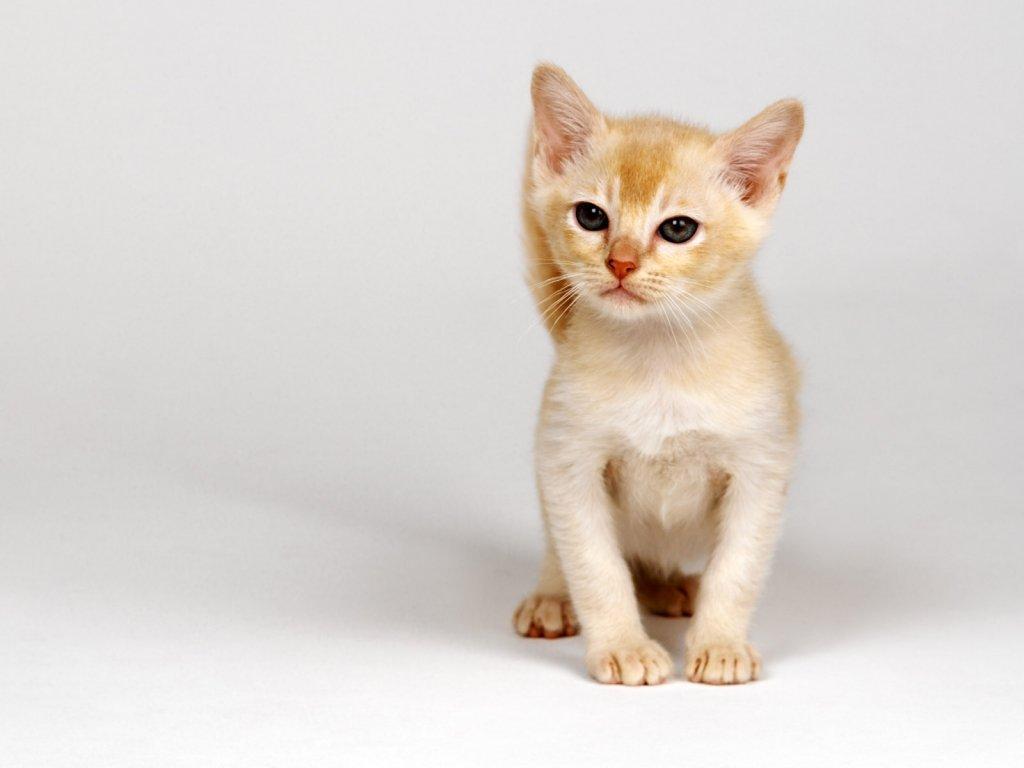 Обои рыжие коты народная воля - d460