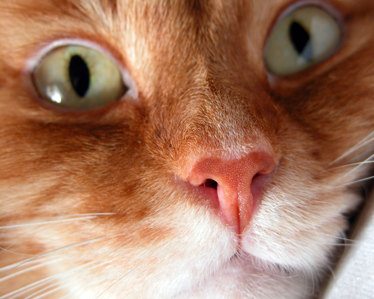 Обои рыжие коты народная воля - 809