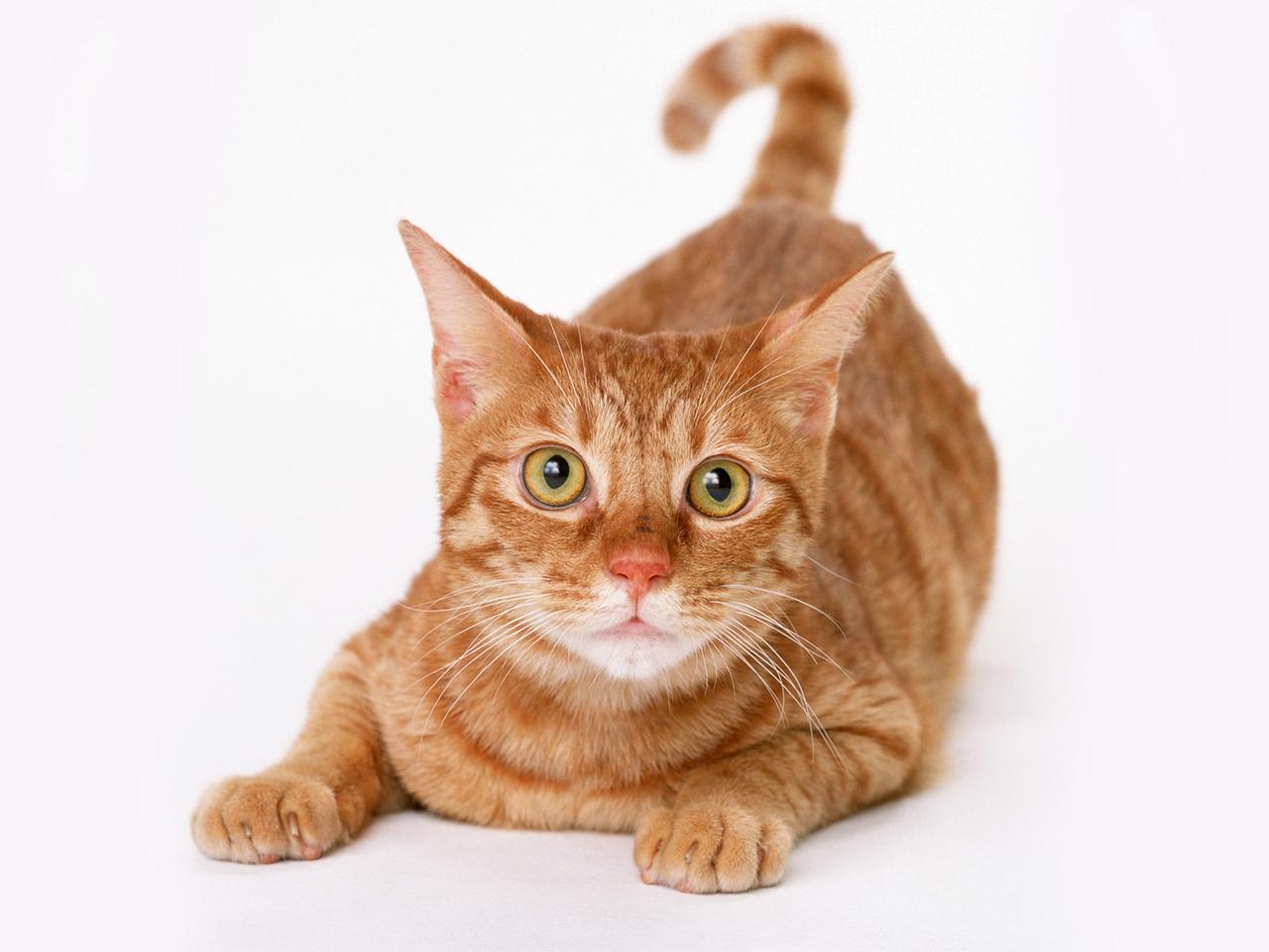 Обои рыжие коты народная воля - 1ae0