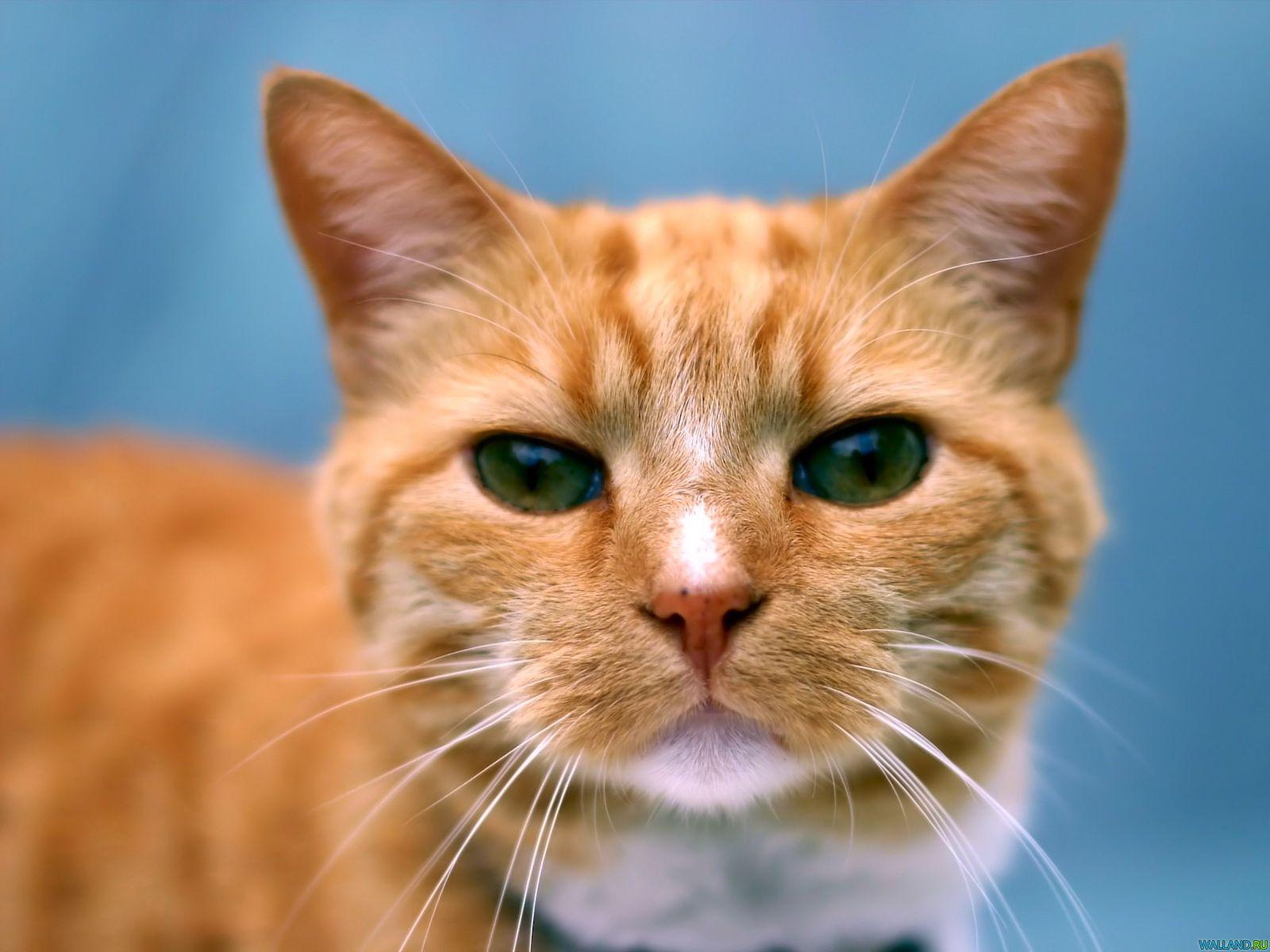 Обои рыжие коты народная воля - 69